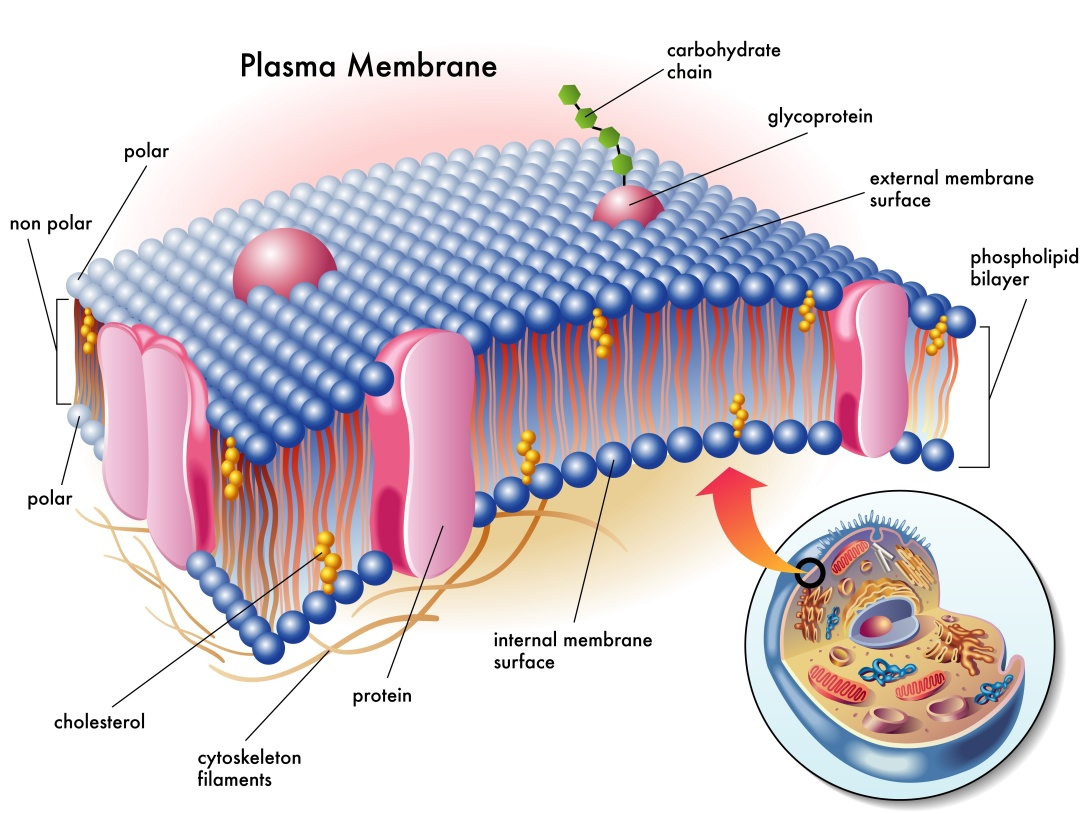 16755654 - plasma membrane
